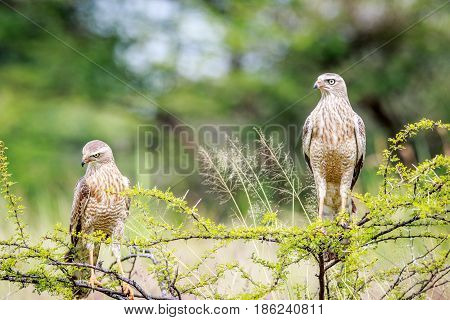 Two Juvenile Pale-chanting Goshawks On A Branch.