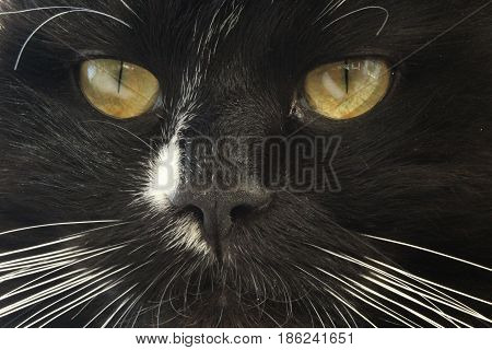 close-up of stared sight of black cat