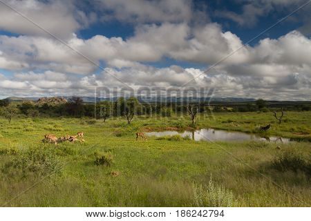 Antelopes at a water hole near Windhoek Namibia