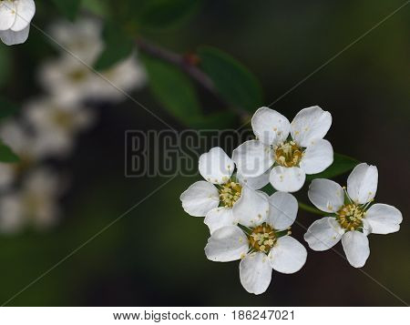 Sprigs of apple with four small blown white flowers with yellow stamens on a dark green background of the foliage of the garden.