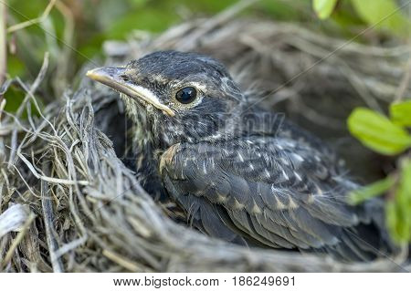 Young robin in nest. A close up image of a baby robin in the nest.