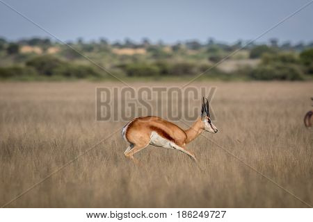 Springbok Pronking In The Central Kalahari.