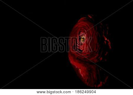 Red buttercup flower reflection on a black background