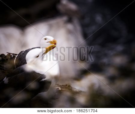 Two Western Gulls, Larus occidentalis, sea gulls on the cliffs in La Jolla, California, USA. Closeup and a shallow depth of field giving a dreamlike, magical feel.