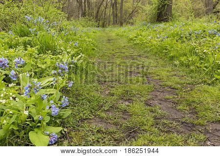 A hiking trail with blue bell flowers.