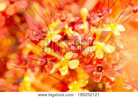 Close Up Image Of Orange Ashoka Flowers (saraca Indica)