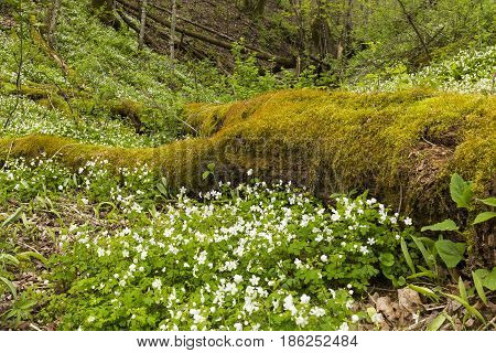 A forest floor scenic with wood anemone wildflowers.