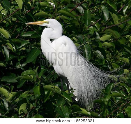 A Great Egret in breeding plumage at a rookery in Florida