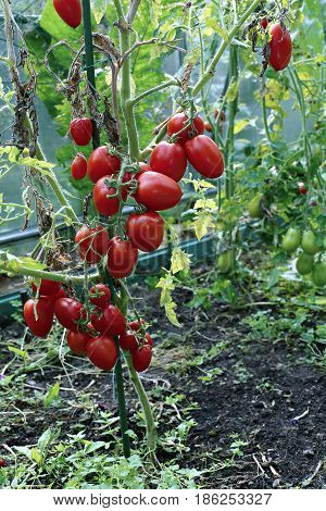 Ripens red elongated tomatoes in a greenhouse