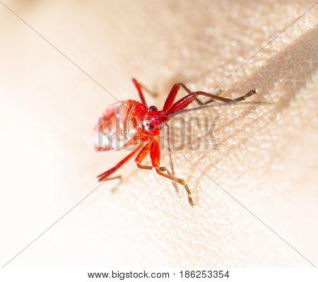 Red young firebug on human skin with shadow