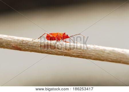 Red Young Firebug On Little Brown Skick