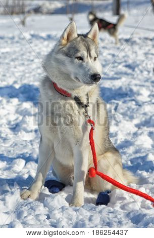 A dog with a red leash, sits on the snow and looks away.