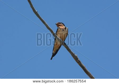 Barn Swallow bird perched on dead tree branch against blue sky