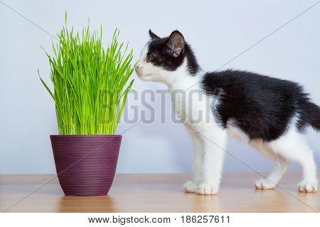 Baby cat inhaled wheatgrass or cat grass