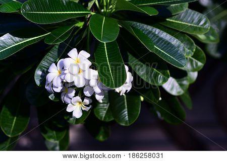 White frangipani (Plumeria) trees frangipani leaf highlighted.