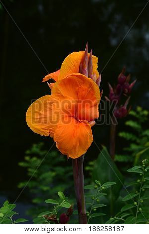 orange canna lily / orange canna lily in the garden.