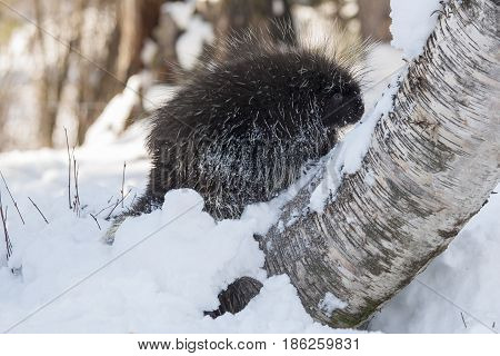 Porcupine on snow and birch tree in winter