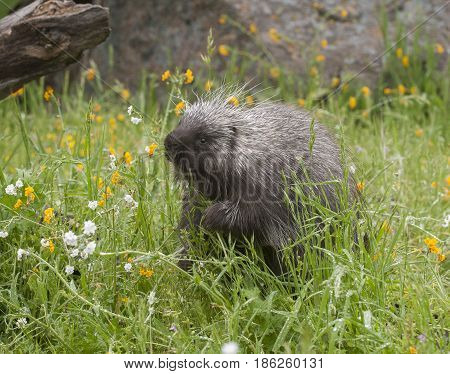 Porcupine eating yellow and white flowers in springtime