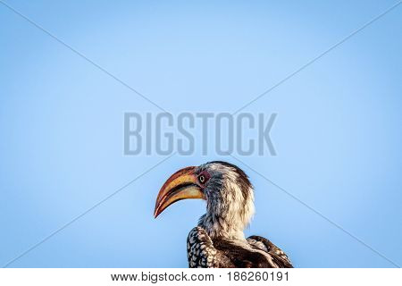 Side Profile Of A Yellow-billed Hornbill.
