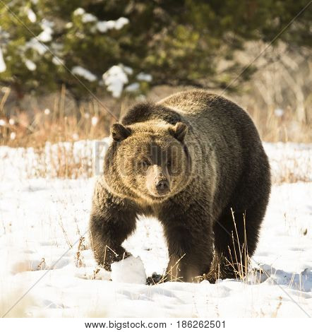 Grizzly Bear (#793, Blondie)) In Deep Snow With Paw Up Slightly)heading Toward Camera