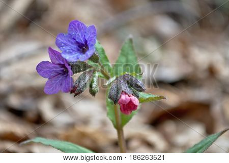 The flower of the lungwort opened in early spring on a forest glade.