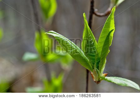 The first leaves are distinguished by bright greenery and juiciness in early spring in the forest.