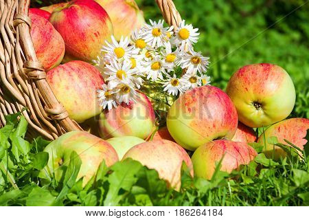Fruit ripe red juicy apples in basket. harvest of apples in an autumn orchard. thanksgiving holiday