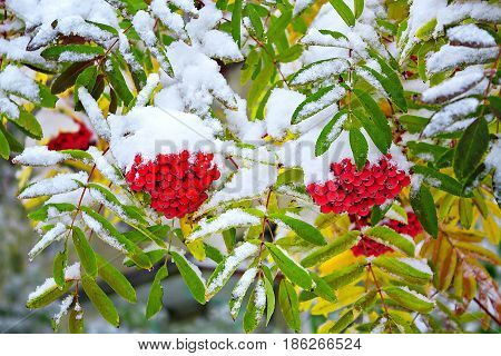 beautiful of a rowan are covered in the autumn with snow