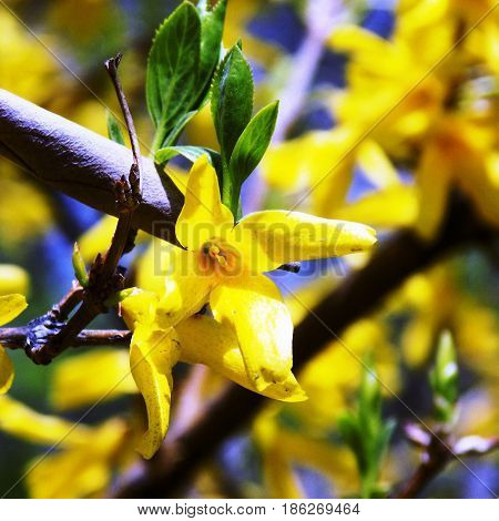 Yellow flowers of an Oriental cherry and green leaves,  branches of a yellow Oriental cherry  on the background of the blue sky