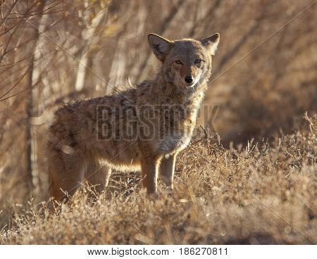 Coyote in deep brush at Bosque del Apache poster