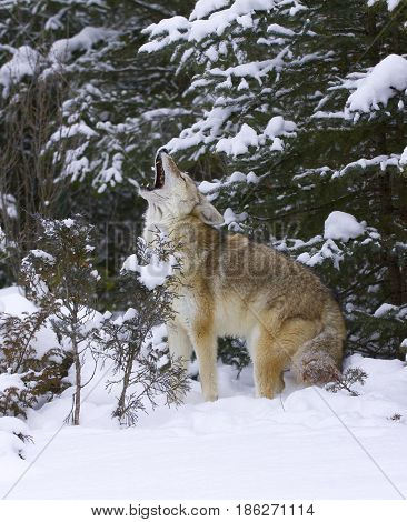 Howling Coyote with snow background in winter