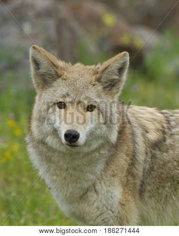 Coyote in deep grass and flowers in springtime