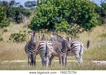 Group Of Zebras Standing In Grass.