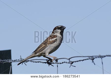 Spanish sparrow with blue skies on the background