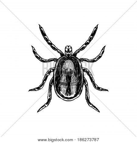 Hand drawn sketch of mite. Top view. Realistic animal isolated. Line graphic design. Black and white drawing insect. Vector illustration.