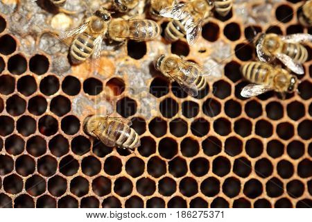 some honey bees woking on a dark beeswax