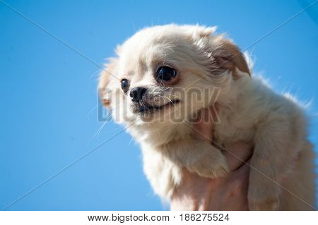 chiwawa puppy in human hands with the sky on the background