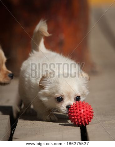 cute little chiwawa puppy with toy ball