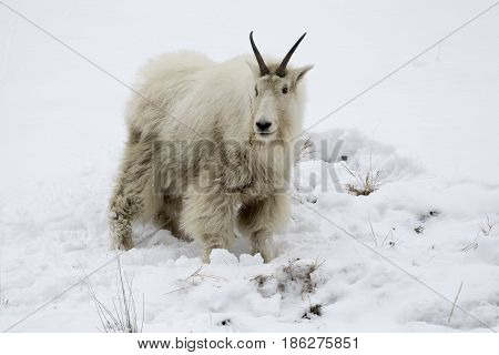 Mountain Goat On Snow Hill With Dirty Face And Body From Eating Forage From Ground