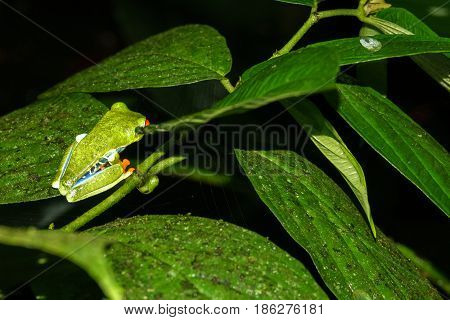 Side view closeup of Red-eyed Tree Frog, Agalychnis callidryas in Costa Rica by night