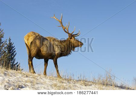Canadian Elk on snow covered hill in autumn