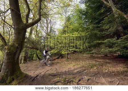Mtb cyclist in Danish springtime beech forest