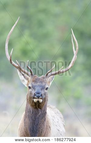 Canadian Elk with trees in background in autumn