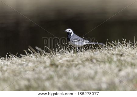 A White Wagtail in Grass close up.