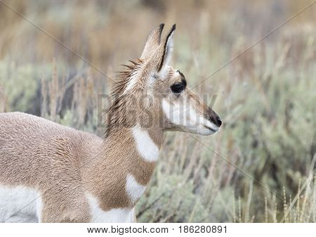 Young Juvenile Female Pronghorn Portrait In Sagebrush