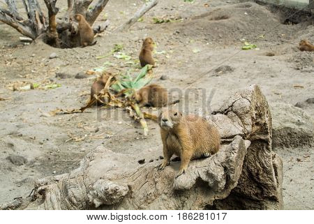 Budapest, Hungary - July 26, 2016: Prairie Dogs At Budapest Zoo And Botanical Garden, Hungary.