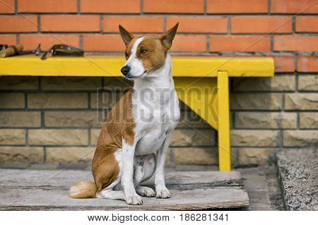 Outdoor portrait of mature Basenji dog sitting near threshold of the house he lives