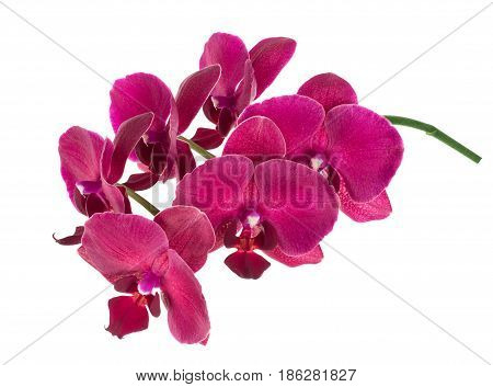 branch of orchid isolated on white background with clipping path. Purple phalaenopsis orchid flowers
