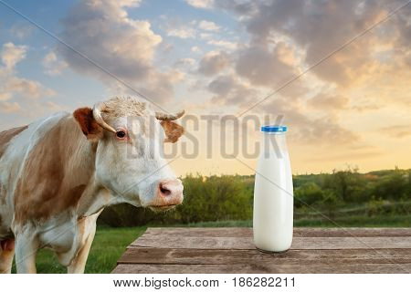 milk in glass bottle on table with cow on the meadow in the background. Bottle of milk on wooden table. Closeup of cow muzzle look at the camera. Photo with copy space