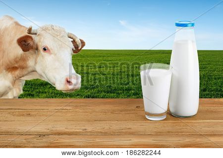 milk in glass and bottle on table with cow on the green meadow with blue sky on the background. Milk on the background of grazing cow. Closeup of cow muzzle look at the camera. Photo with copy space